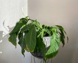 Drooping peace lily plant, needs watering