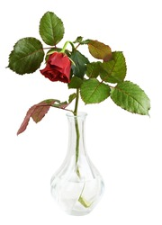 Drooping red rose flower in a glass vase isolated on white