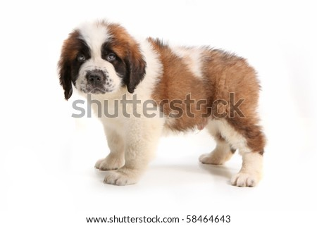 Droopy Saint Bernard Puppy Looking at the Viewer on White Background