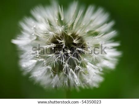 Drop dandelion