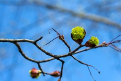 drop-down tree buds with green young leaves