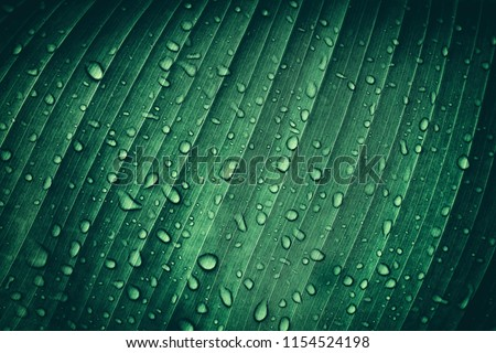 drop of water on tropical banana palm leaf, dark green foliage, nature background