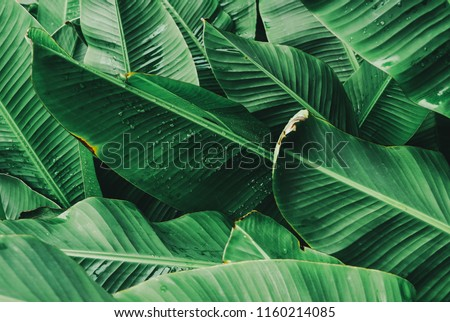 drop of water on tropical banana palm leaves texture , green background #1160214085