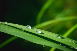 Drop of water sparkles in sunshine on grass leaf.Grass in morning dew in the spring summer on a green background in nature.