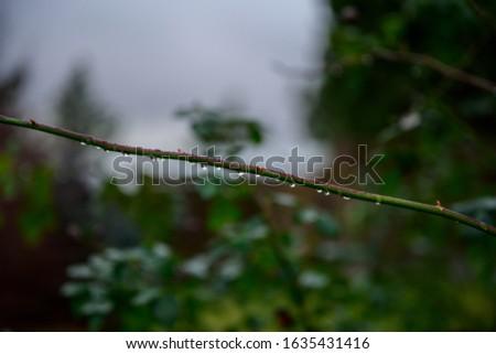 Droplets on a rose stem