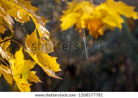 droplets on leaves.Fallen autumn leaf closeup with raindrops on Maple leaves. #1208577781