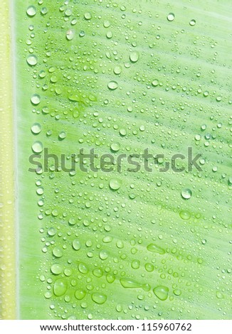 droplets water on beautiful banana leaf