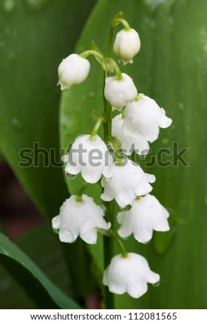 drops of dew cover a lily of the valley. Though delicate and petite, these tiny flowers can be very poisonous. Bellflowers are protected by its green leaves.