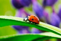 Drops of dew on the field. Ladybird on a flower. Macro shooting the beetle on the blade of grass. High quality photo.