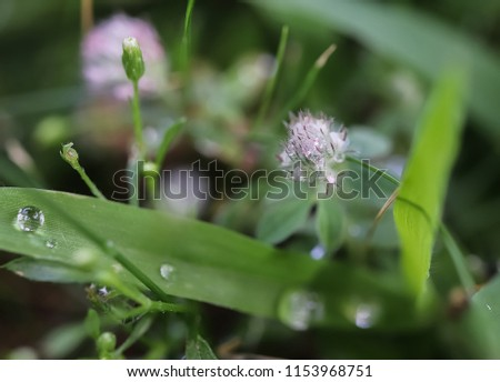 Drops of morning dew on a fluffy soft pink flower clover grazing (hare's-foot, rabbitfoot, stone or oldfield clover, Trifolium arvense) and on green grass. Close-up. Macro. Space for text.