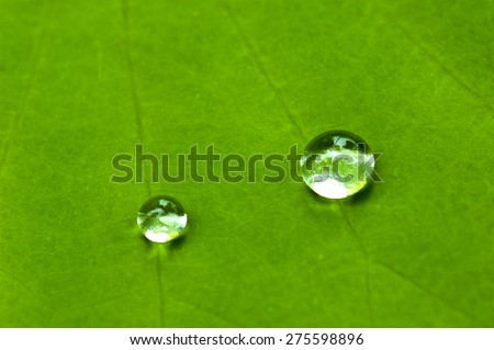 Drops of water in a lotus leaf.