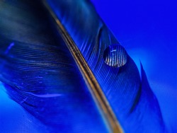 Drops of water on a beautiful and colorful pigeon feather with blue background.Black and white feather,macro water drops photography
