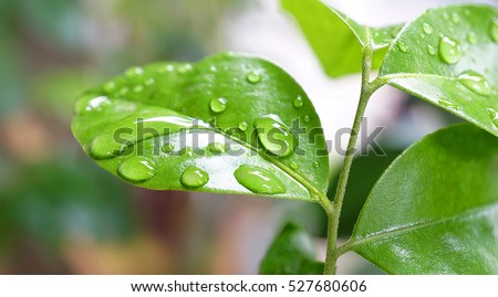 Drops water on green leafs, Natural of raindrop on fresh foliage, After the rain, Close up - Shutterstock ID 527680606