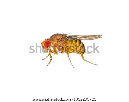 Drosophila Fruit Fly Insect Isolated on White Macro