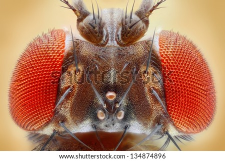 Drosophila melanogaster extreme close up with 25x magnification using a special objective. Study of fruit fly head.