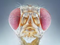 Drosophila melanogaster fruit fly extreme close up macro