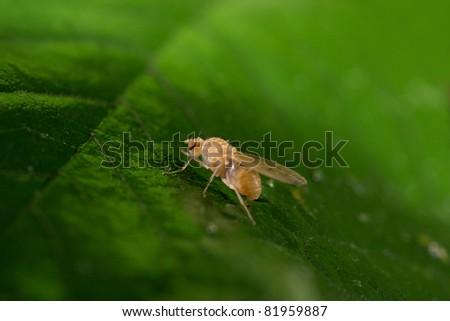 drosophila portrait