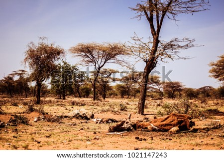Drought and famine - dead hungry cattle on dry Masai land in Kenya Сток-фото ©