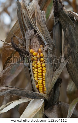 drought damaged corn crop