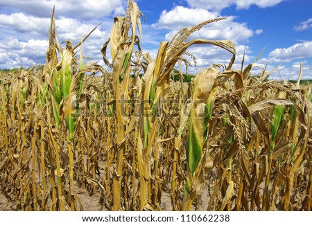 Drought Damaged Cornfield:  Poorly developed cornstalks show the effects of prolonged hot, dry weather on a farm in southern Wisconsin.