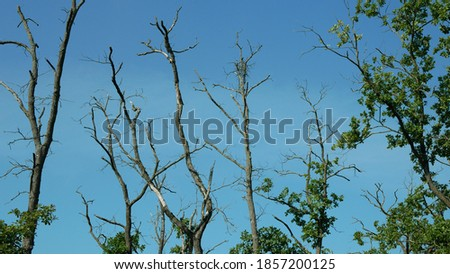 Drought dry branches tree dead lack of groundwater floodplain forest wood without leaves leaf with oaks Quercus robur common oak pedunculate European English wetland, plant vegetation rot decay Photo stock ©