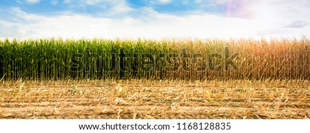DROUGHT, GREEN AND DRIED CORN FIELD IN SUN LIGHT, PANORAMA OF RURAL LANDSCAPE