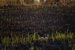 Drought, hot climate and natural fire. Reed sprouts amont burnt gound and ash. Environmental protection, global warming, flora and fauna damage. Recovery and renewal of nature concept.