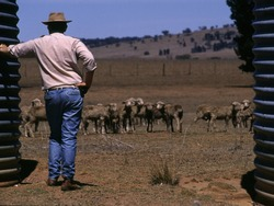 Drought in Australia Farmer trying to save starving sheep - NSW - Australia