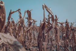 Drought in corn farms. Dried plants die in dry weather. leaves are brown and the skies are blue. Concept of global warming.