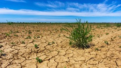 Drought land, plant struggling for life. A lone cornflower on a field with dried, cracked earth. Drought, crop and environmental issues