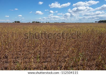 drought soybean field