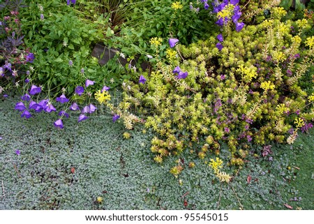 Drought-tolerant woolly silver thyme, golden sedum, and miniature blue bellflowers are perennial low creeping groundcovers blooming together along a garden pathway.