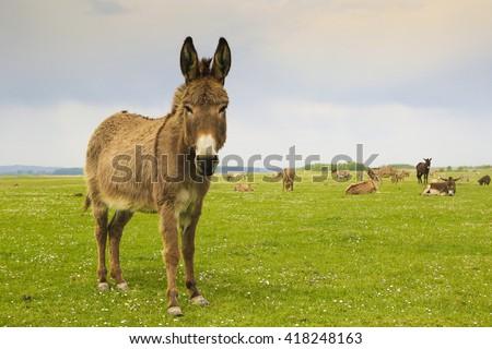Drove of donkeys restingin the green meadow