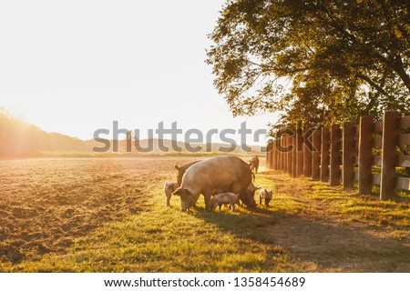 Drove of pigs on a pasture. Litter of piglets in a field. Sow and piglets eating. A golden pasture during sunset. Swine covered in mud.