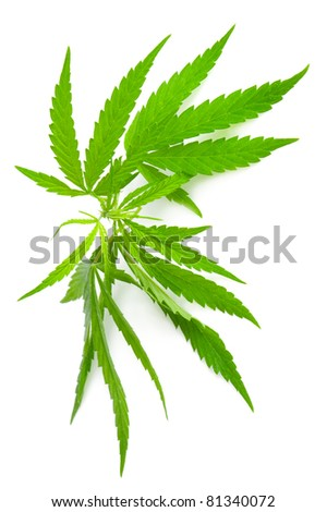 Drug cannabis. Marijuana flower bud isolated on white background