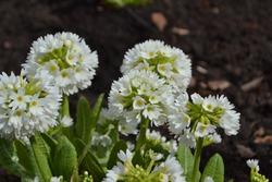 Drumstick Primrose 'Alba' (Primula denticulata)