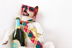 drunk jack russell terrier dog resting  or sleeping hangover with headache, with bottle and glass , wearing sunglasses and tie, after new years eve