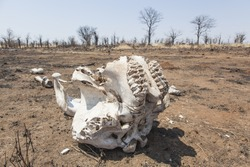 dry african landscape with brown sand and dead trees and the skull of an elephant, concept for animal death caused by drought or poaching