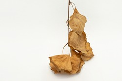 Dry autumn birch leaves. White background. Close-up. Yellow-brown autumn leaves on a twig. Isolate. Autumn still life. Autumn abstraction