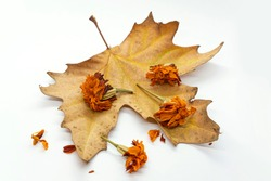 Dry autumn leaf on a white background. Yellow dried calendula flowers. White background. Yellow-brown autumn leaf. Dry autumn flowers. Close-up. Autumn still life. Seasons