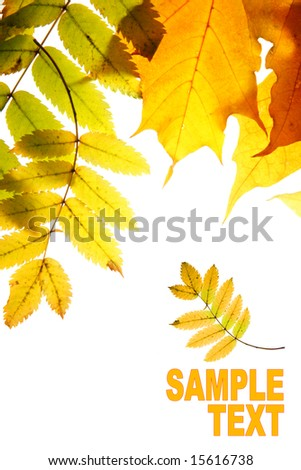 Dry autumn  leaves isolated over whte background with space for your own text