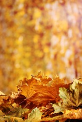 dry autumn maple leaves on yellow background