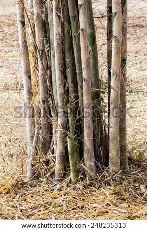 Dry bamboo with dry leaf in dry season.Pile of Dry bamboo leaf on the ground.