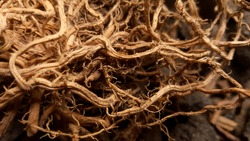 Dry branches or plant roots intertwined creating a beautiful pattern of light and shadow. Powerful fibrous root system close-up of the plant.