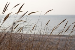 Dry brown bents growing in sand by the Baltic sea coast in windy day. Blurred sea in light pastel tones.