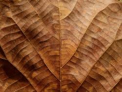 dry brown leaf texture ( teak leaf )