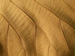 dry brown leaves texture ( teak leaves )