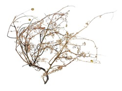 Dry Bush of Desert Tumble Weed on White Background
