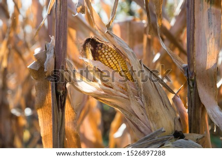 dry corn plant with corn cob isolated.