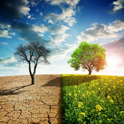Dry country with cracked soil and rapeseed field with green tree. Concept of change climate or global warming.